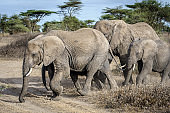 Family group of African Elephant