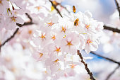 Pollinating Cherry blossoms