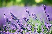 Digital art, paint effect, lavender flower on a summer day