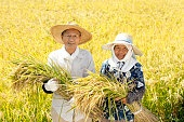 Rice reaping