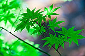 Vibrant Color of Japanese Maple Leaves