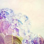 Beautiful blue hydrangea.