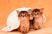 Two somali kittens under white hat