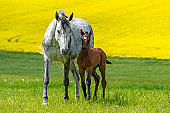 Funny horse foal playing on pasture with mother mare