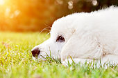 Cute white puppy dog lying on grass. Polish Tatra Sheepdog