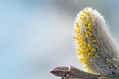 pussy willow catkin with pollen against blue