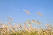 Reed grass flower against blue sky