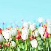 Spring flowers background.  Tulips on a blur blue sky backgroun