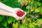 harvesting - handful of ripe raspberries