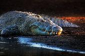Nile crocodile on riverbank