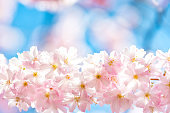 Pink Cherry blossoms border