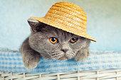 Portrait of Blue British cat wearing straw hat