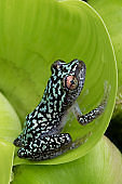 Colorful Blue Reed Frog in Rainforest