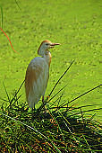 Cattle Egret standing on reed near a pond.