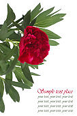 Beautiful card with peony flower on a white background