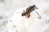Leopard Gecko lizard on rocks