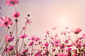 Pink tone of cosmos flower field