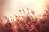 Dry reed (bulrush) field and gloomy autumn day