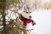 Dog Siberian Husky in a red scarf