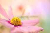 Beautiful Cosmos Flower macro image