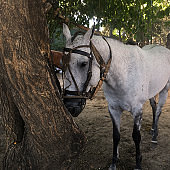 White polo horse