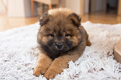 Baby chow dog resting on the carpet.