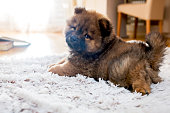 Adorable puppy on white rug.