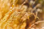 Beautiful landscape of nature, golden grass, autumn or summer meadow