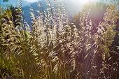 Yellow reed during beautiful sunset in Sicilian natural