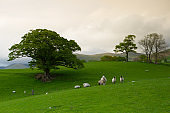 Green fields in the English countryside with grazing sheep. Engl