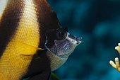 Underwater  Sea life   Bannerfish  Scuba diver point of view