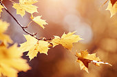 Branch with yellow maple leaves