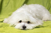 Adorable maltese dog lying in bed on a green blanket