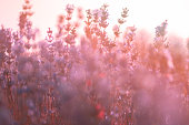 Soft focus of lavender flowers under the sunrise light