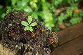 Young leaves that grow from the stump (new life)