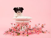 Black and white chihuahua puppy in a white flower pot surrounded with pink flowers on a pink background