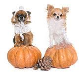 halloween pumpkin and chihuahuas