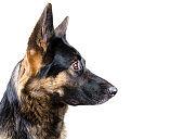 Cute German shepherd looking sideward