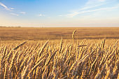 Wheat field and blue sky with picturesque clouds. Harvest of wheat. Cereal crop.