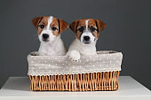 Jack russells in the basket. Close up. Gray background