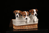 Small dogs in basket. Close up. Black background