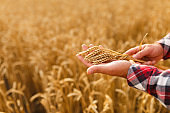Man holding ears of wheat on a background a wheat field. Agronomist farmer cares about his crop for the rich harvest on sunset