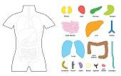 Internal organs - puzzle template for educational use - cut the organs out and put it on the right place of the human body, or color it in with coloring pencils - vector illustration on white.