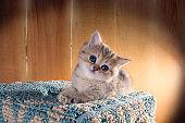 Charming blue-eyed little  kitten   British Shorthair.  Color: Black Golden Shaded.