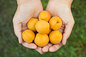 Woman holds fresh harvested apricots in her palms