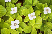 Bunchberry flowers and leaves