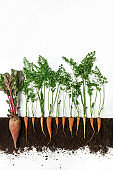 Beetroot and carrot. Growing plant isolated on white background