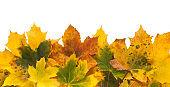 Fall season background, yellow maple leaves