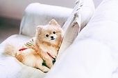 Cute pomeranian dog resting on sofa with copy space