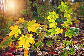 Colorful Maple Leaves In Forest